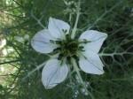 Kwiat czarnuszki siewnwj